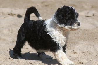How Much Is A Portuguese Water Dog Uk